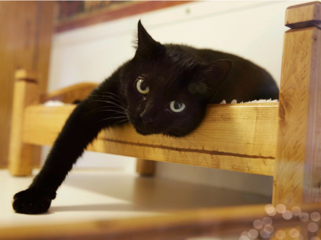 "In this Tuesday, Aug. 4, 2015, file photograph, a black cat lounges on a small bed in Morristown, N.J. New Jersey could become the first state to prohibit veterinarians from declawing cats. The bill's sponsor said declawing is ""a barbaric practice"" that more often than not is done for convenience. …"