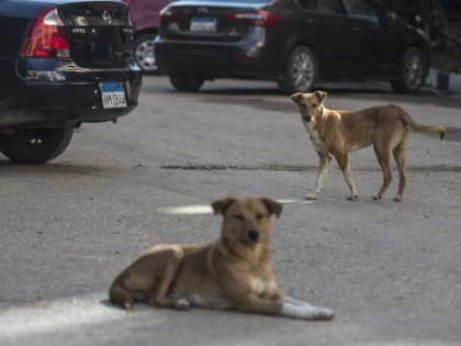 Stray dogs are seen in a street in the Egyptian capital Cairo on December 12, 2018. - In Egypt, stray dogs, commonly referred to as 'baladi dogs', are widely viewed as unsanitary and dirty. They are typically seen running about the streets and scavenging garbage for food. There are no …