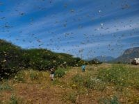 "Locusts swarm from ground vegetation as people approach at Lerata village, near Archers Post in Samburu county, approximately 300 kilomters (186 miles) north of kenyan capital, Nairobi on January 22, 2020. - ""Ravenous swarms"" of desert locusts in Ethiopia, Kenya and Somalia, already unprecedented in their size and destructive potential, …"