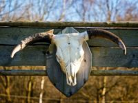 Bleached white cattle skull trophy with horns mounted on the wall of an old weathered wooden barn in close up outdoors in sunshine