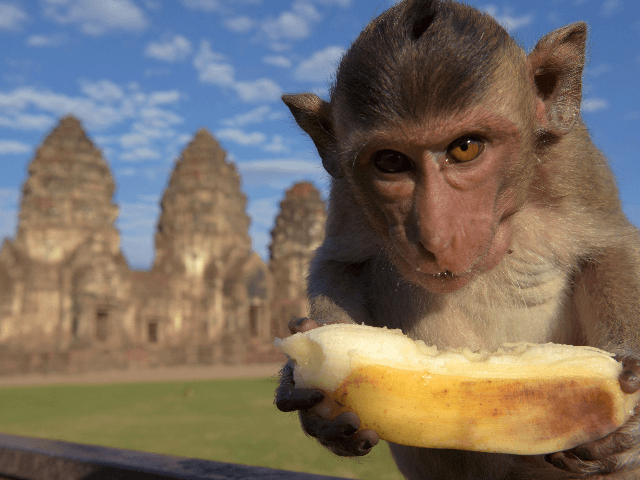 COVID-19: Hungry monkeys fight for banana as tourism drops in Thailand