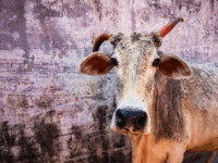 Beautiful indian cow on the streets of Rishikesh, India