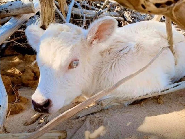 A cow that swam four miles to shore after Hurricane …