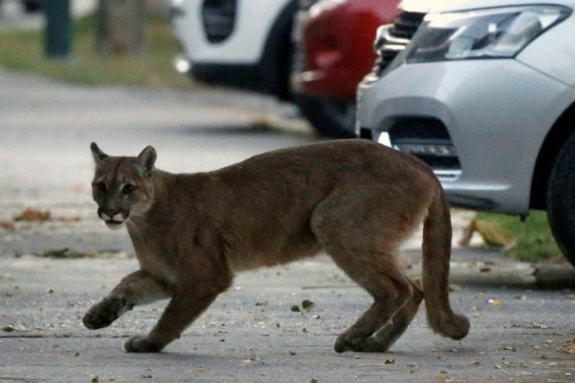 Wild puma captured in deserted Chile capital