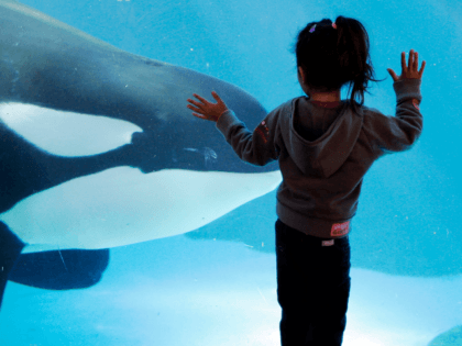 In this Nov. 30, 2006, file photo, a young girl watches through the glass as a killer whale passes by while swimming in a display tank at SeaWorld in San Diego. SeaWorld San Diego is ending its controversial and long-running killer whale show. The show that featured orcas cavorting with …