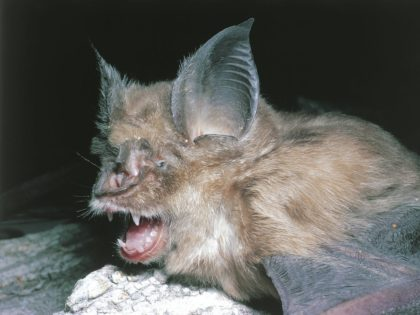 Coronavis-Bat-Species-1-420x315.jpeg