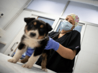 A veterinarian treats a dog at a veterinary clinic in Palma de Mallorca on March 31, 2020, during a national lock-down to prevent the spread of the novel coronavirus. - Once again, Spain hit a new record with 849 coronavirus deaths in 24 hours although health chiefs said the rate …