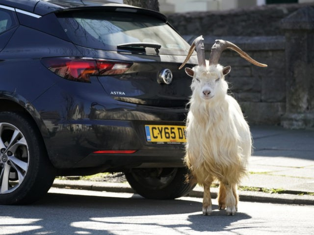 LLANDUDNO, WALES - MARCH 31: Mountain goats roam the streets of LLandudno on March 31, 2020 in Llandudno, Wales. The goats normally live on the rocky Great Orme but are occasional visitors to the seaside town, but a local councillor told the BBC that the herd was drawn this time …
