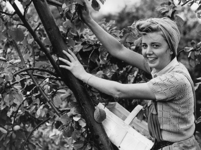 13th August 1940: An employee of an Oxford Street store in London fruit picking at a farm near Pershore in Worcestershire. (Photo by Maeers/Fox Photos/Getty Images)