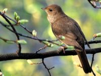 Alarmists: Climate Change Making Nightingales' Wings Shorter