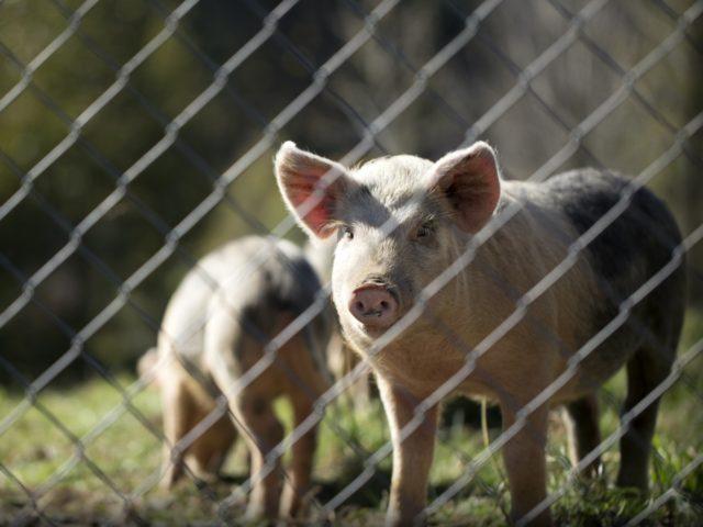 pigs piggery