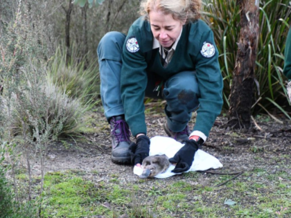A platypus being released into Tidbinbilla Nature Reserve in April 2020.(Supplied: Taronga Zoo)