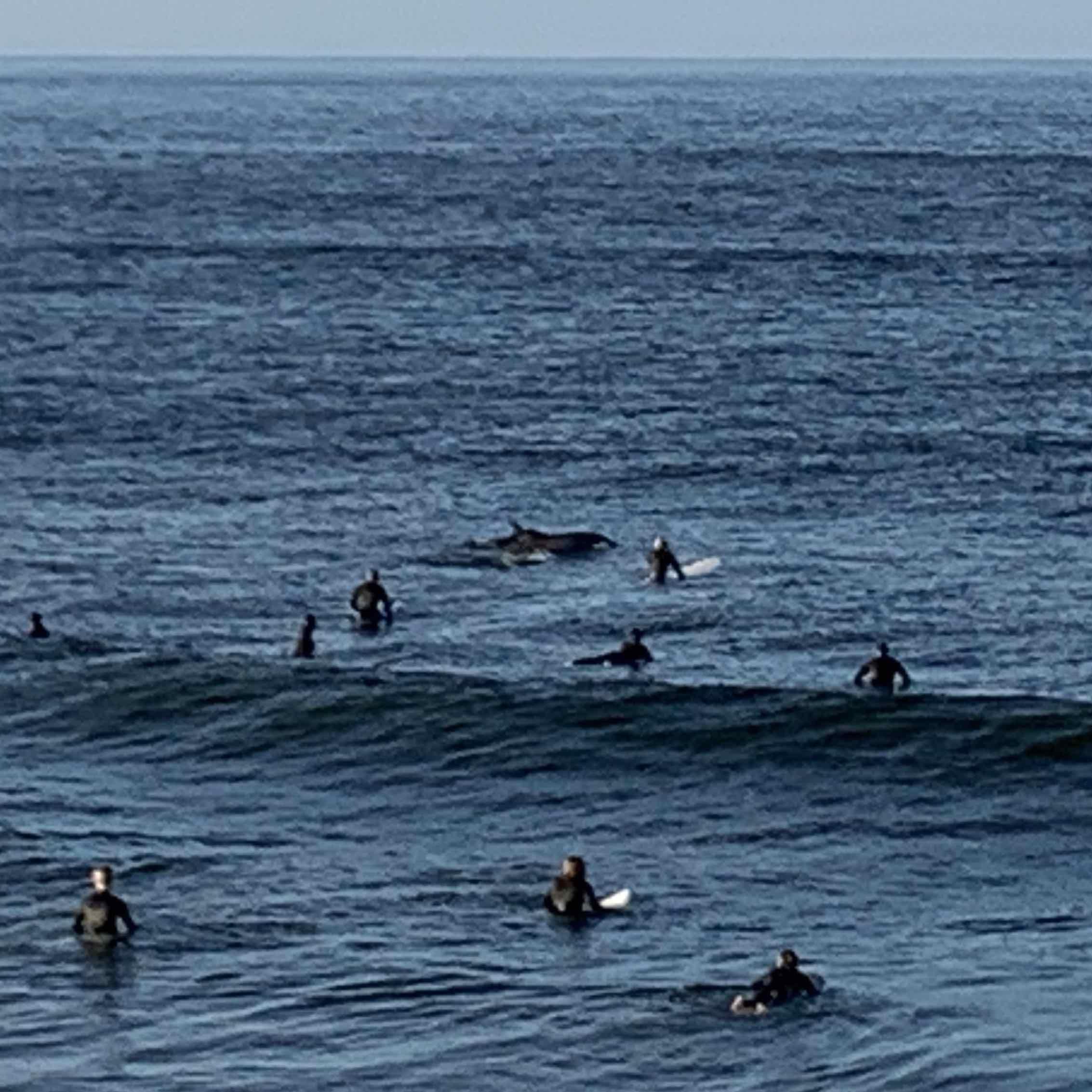 Bottlenose dolphins swim by surfers off Sunset Point (Joel Pollak / Breitbart News)