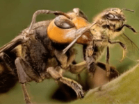 Invasive Asian giant hornets, a honeybee-killing wasp with a dangerous sting, have been discovered in Washington. Photo courtesy of the Washington State Department of Agriculture