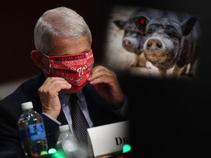 Anthony Fauci Warns: Pig-Bound Virus in China Could Cause Another Pandemic