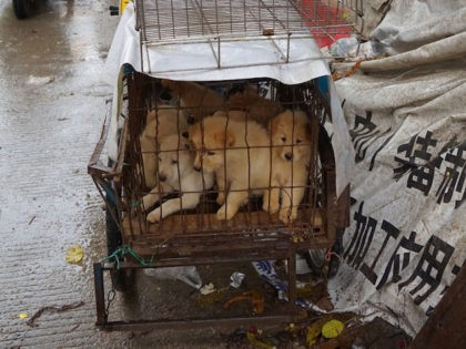 Puppies are seen in a cage at a dog meat market in Yulin, in China's southern Guangxi region on June 21, 2017. China's most notorious dog meat festival opened in Yulin on June 21, 2017, with butchers hacking slabs of canines and cooks frying the flesh following rumours that authorities …