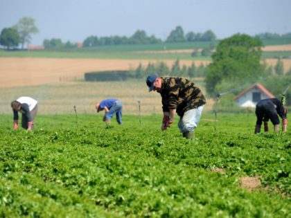 Seasonal farmhands from Poland work in the fields picking lettuce, in Meteren, northern France on June 6, 2013. AFP PHOTO /PHILIPPE HUGUEN (Photo credit should read PHILIPPE HUGUEN/AFP via Getty Images)
