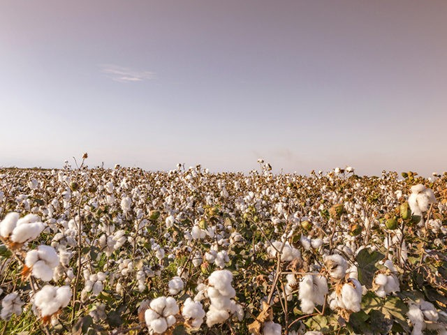 Organic cotton is generally defined as cotton that is grown organically in subtropical countries such as Turkey, China, and parts of the USA.
