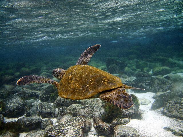 A Green sea turtle (Chelonia mydas) swims underwater in San Cristobal island, Galapagos Archipelago, on September 1, 2009. AFP PHOTO/Pablo Cozzaglio (Photo credit should read PABLO COZZAGLIO/AFP via Getty Images)