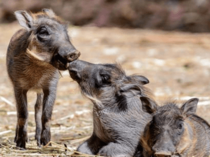 In this June 6, 2016 photo provided by Steven Gotz newly born baby warthogs appear at the Oakland Zoo in Oakland, Calif. Zoo officials say the piglets are beginning to explore their surroundings. (Steven Gotz Photography via AP) MANDATORY CREDIT