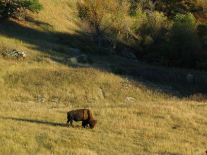 Bison, Wind Cave National Park, South Dakota