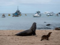 GALAPAGOS ISLANDS, ECUADOR - JANUARY 15: Sea lions on a beach in front of fishing and tourist boats on San Cristobal island on January 15, 2019 in Galapagos Islands, Ecuador. A growing human population and the influx of tourism on the Galapagos islands has created challenges in conserving the UNESCO …