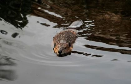 England's first wild beavers for 400 years can stay