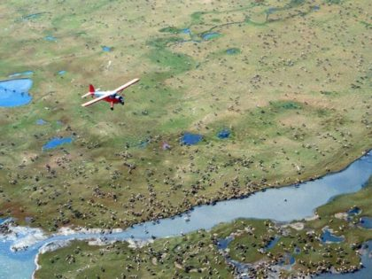 In this undated photo provided by the U.S. Fish and Wildlife Service, an airplane flies over caribou from the Porcupine Caribou Herd on the coastal plain of the Arctic National Wildlife Refuge in northeast Alaska.The Department of the Interior has approved an oil and gas leasing program within Alaska's Arctic …