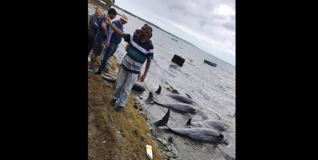 In this photo supplied by Greenpeace on Wednesday, Aug. 26, 2020, dolphins lay dead on the shore on the Indian Ocean island of Mauritius. At least 14 dolphins have washed up and died on the coast of the Indian Ocean island of Mauritius, where a Japanese ship ran aground and …