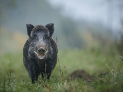 A male boar shows his impressive tusks in Germany