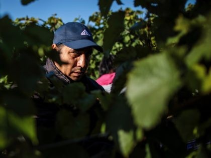 HAMBLEDON, ENGLAND - OCTOBER 03: Migrant workers pick Chardonnay grapes during the harvest at Hambledon Vineyard on October 3, 2018 in Hambledon, United Kingdom. Around 80 predominantly Eastern European workers have been brought in at Hambledon to pick a bumper crop of 250 tonnes of grapes this season, following a …