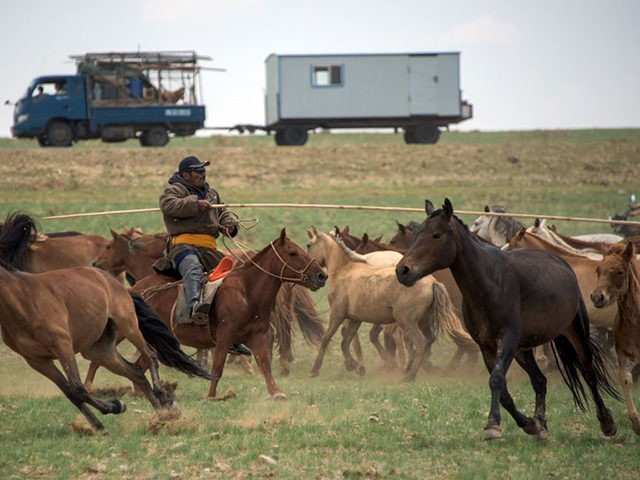 This picture taken on June 28, 2016 shows Pagvajaviin Shatarbaatar herding horses in the Gobi desert near Luusiin. Mongolians went to the polls across their sprawling, sparsely-populated country on June 29 as it struggles to benefit from its vast natural resources amid disputes over foreign investment and slumping demand from …