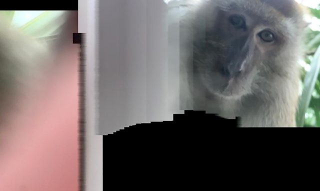 This photo taken with panorama mode but the phone wasn't turned, and provided by Zackrydz Rodzi shows a monkey which took a selfie in Batu Pahat in the southern state of Johor, Malaysia on Saturday, Sept. 12, 2020. Rodzi, a Malaysian student whose cellphone was stolen while he was sleeping …