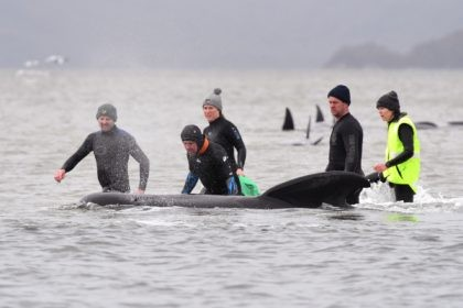 In this Sept. 22, 2020, file photo, members of a rescue crew stand with a whale on a sand bar near Strahan, Australia. More pilot whales were found stranded on an Australian coast Wednesday, Sept. 23, raising the total to almost 500 in the largest mass stranding ever recorded in …