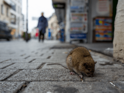 For Sixth Year Running, Chicago Dubbed Nation's 'Rattiest City' by Orkin Pest Control