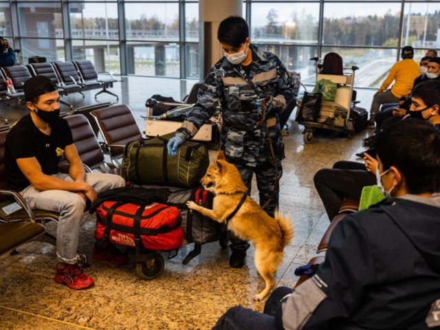 A trainer from the canine service of Russias Aeroflot carrier trains a Sulimov breed sniffer dog to detect coronavirus in biomaterial from infected people during a training exercise at Moscow's International Sheremetyevo International Airport on October 9, 2020. - Russia registered a record daily number of new coronavirus infections on …