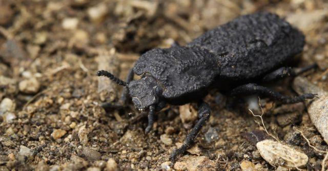 diabolical ironclad beetles - photo #18