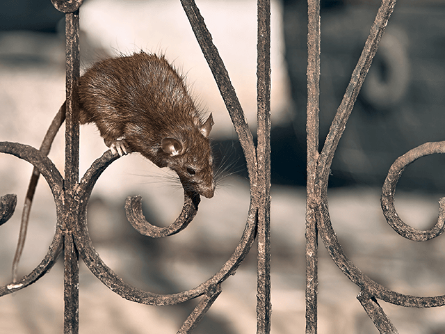 New York City residents are complaining about huge rats scurrying …