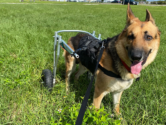 Chaos the dog with his wheelchair
