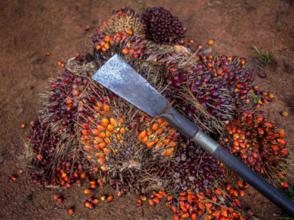 A tool used for harvesting palm oil rests on thorny fruit bunches in Sabah, Malaysia, Monday Dec. 10, 2018. (AP Photo/Binsar Bakkara)