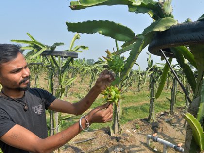 In this picture taken on November 7, 2020, a farmer inspects a Dragon fruit plant at a farm in Thakurganj. (Photo by Diptendu DUTTA / AFP) (Photo by DIPTENDU DUTTA/AFP via Getty Images)