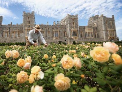 WINDSOR, ENGLAND - AUGUST 05: A gardener works on a rose bed as Windsor Castle's East Terrace Garden prepares to open to the public at Windsor Castle on August 05, 2020 in Windsor, England. This is the first time in over forty years the gardens have been open to the …