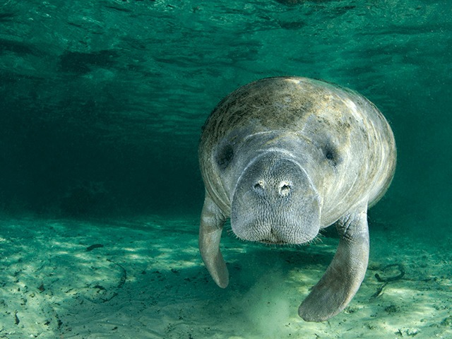 $5000 Reward Offered for Info on 'TRUMP' Carved Into Florida Manatee's Back