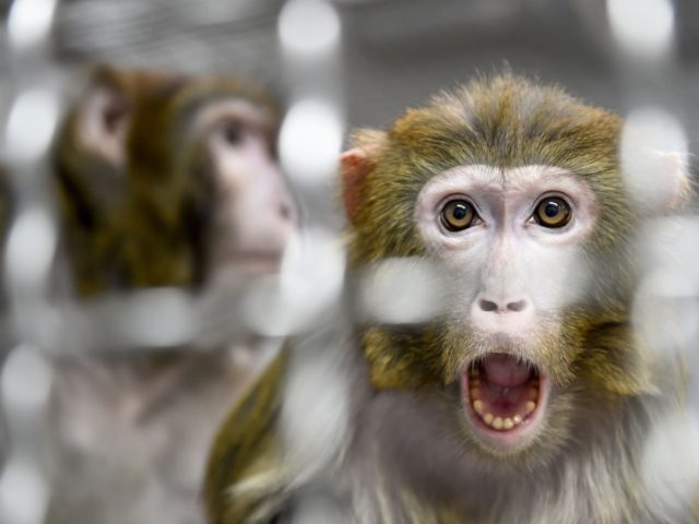 A Rhesus macaque, part of the 11 rescued monkeys from research laboratories, looks on from the quarantine room of the future animal shelter 'La Taniere', in Nogent-le-Phaye near Chartres, on March 13, 2019. - The refuge, which will open to the public in 2020, cares for retired or mistreated animals …