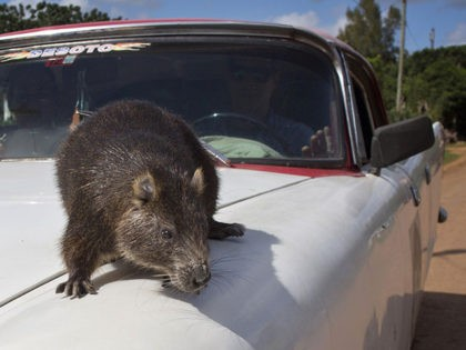 In this Nov. 17, 2014 photo, Congui, a domesticated hutia, walks on the hood of its owner American classic car driven, in Bainoa, Cuba. Five years ago, Rafael Lopez and his wife Ana Pedraza, adopted Congui, their first pet hutia, a large rodent that lives in Cuba, Jamaica, Bahamas and …