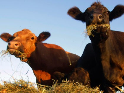 In this Sept. 12, 2011, file photo, Simmental beef cattle feed on hay in a pasture near Middletown, Ill. As ranchers in drought-parched Texas and Oklahoma cut back their herds some ranchers in other states with healthy pastures like Illinois, Iowa and Montana are adding to their herds. (AP Photo/Seth …