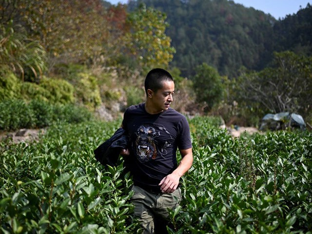 This picture taken on November 13, 2019 shows Chinese farmer Ma Gongzuo checking his tea garden in Songyang county in China's Zhejiang province. - Once a modest beekeeper, Ma Gongzuo has been driving a BMW since he started selling his honey using a technique increasingly popular with Chinese farmers: video …