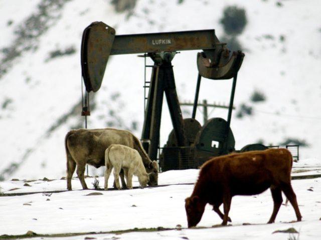 Cattle graze in the snow near an oil well.