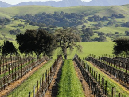 The Firestone Vineyard stretchs toward rolling hills in the Santa Ynez Valley in Santa Barbara County, Calif., Thursday, March 13, 2008. Greka Oil & Gas, Inc. leases land on the vineyard's property. Over the past nine years, the Santa Barbara County Fire Department has responded at least 400 times to …