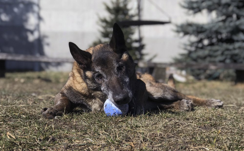"Retired police dog Aron plays with a ball at the private ""Veterans' Corner"" shelter in Gierlatowo, in Poland, on Wednesday, March 10, 2021. When they age, the dogs and horses that serve in Poland's police, Border Guard and other services cannot always count on a rewarding existence. Responding to calls from concerned servicemen, the Interior Ministry has proposed a bill that would give the animals an official status and retirement pension, hoping this gesture of ""ethical obligation"" will win unanimous backing. (AP Photo/Rafal Niedzielski)"